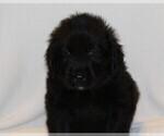 Puppy 1 Golden Newfie