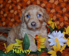 Cavapoo Puppy for sale in Harrisburg, PA, USA