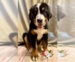Puppy 2 Bernese Mountain Dog