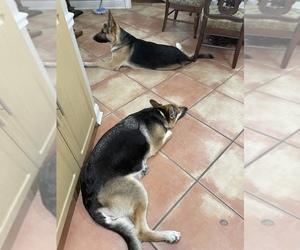 German Shepherd Dog Puppy for sale in CAROL CITY, FL, USA