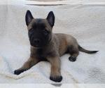 Puppy 5 Belgian Malinois