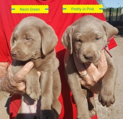 Labrador Retriever Puppy For Sale in PEARSALL, TX