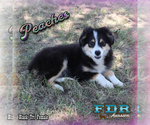 Peaches Mini Black Tri Female Aussie