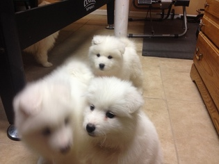 Samoyed Puppy for sale in SOUTH RICHMOND HILL, NY, USA