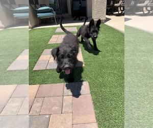 German Shepherd Dog-Schnauzer (Giant) Mix Dog for Adoption in PHOENIX, Arizona USA