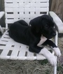 GREAT DANE PUPPIES CKC PEDIGREE