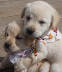 Labrador Retriever Puppy for sale in MANSFIELD, MO, USA