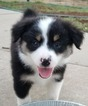 Australian Shepherd Puppy For Sale in SOMERVILLE, TN, USA