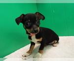 Puppy 2 Chihuahua
