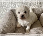 Puppy 3 ShihPoo