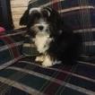 Coton de Tulear Puppy For Sale in GREENVILLE, MI, USA