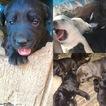 PureBred Labrador Retrievers