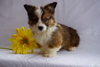ACA Pembroke Welsh Corgi For Sale Suagrcreek OH