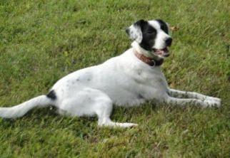 Comet - Pointer / Affenpinscher Dog For Adoption