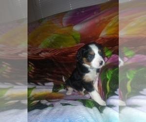 Australian Shepherd-Cavalier King Charles Spaniel Mix Puppy for Sale in HOWLAND, Ohio USA