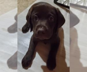 Labrador Retriever Puppy for sale in MORRISON, CO, USA