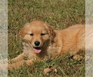 Golden Retriever Puppy for sale in SAINT IGNATIUS, MT, USA