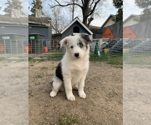 Border-Aussie Puppy for sale in ANTELOPE, CA, USA