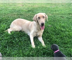 Mother of the Labrador Retriever puppies born on 12/08/2019