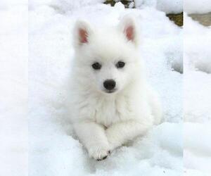 American Eskimo Dog Puppy for sale in CHICAGO, IL, USA