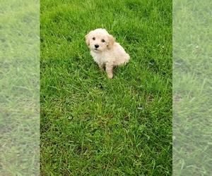Maltese-Poodle (Toy) Mix Dog for Adoption in OAK PARK, Illinois USA