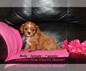 Cavalier King Charles Spaniel Puppy for sale in CLARKRANGE, TN, USA