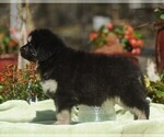 Puppy 5 Tibetan Mastiff