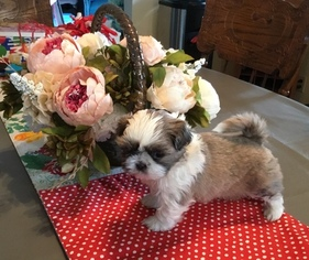 Shih Tzu Puppy for sale in RIO LINDA, CA, USA