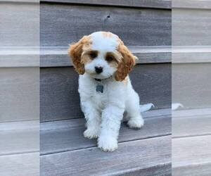 Cavapoo Puppy for sale in HARRISON, AR, USA