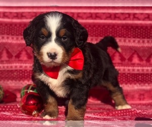 Bernese Mountain Dog Puppy for Sale in CLAY, Pennsylvania USA