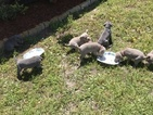 Weimaraner Puppy For Sale in LYNN HAVEN, FL, USA