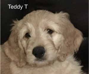 Goldendoodle Puppy for Sale in PALO CEDRO, California USA