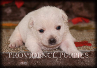 West Highland White Terrier Dog for Adoption in COPPOCK, Iowa USA