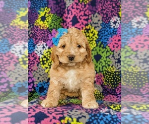 Cocker Spaniel-Poodle (Miniature) Mix Puppy for sale in NEW HOLLAND, PA, USA