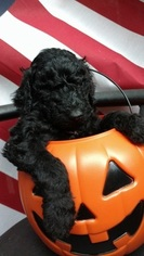 Poodle (Standard) Puppy For Sale in DILLSBORO, NC