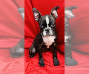 Faux Frenchbo Bulldog Puppy for sale in WATERVLIET, NY, USA