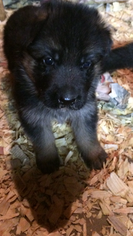 German Shepherd Dog Puppy For Sale in STRONGSVILLE, OH
