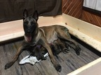 Belgian Malinois Puppy For Sale in VALPARAISO, IN, USA