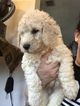 Labradoodle Puppy For Sale in KATY, Texas,