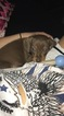 Dachshund Puppy For Sale in FAYETTEVILLE, AR