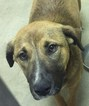 German Shepherd Dog-Unknown Mix Dog For Adoption in Fredericksburg, VA