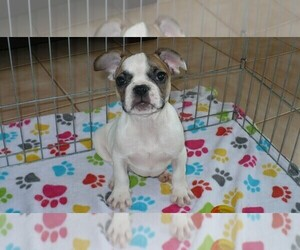 French Bulldog Puppy for Sale in ORO VALLEY, Arizona USA