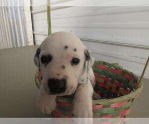 Dalmatian Puppy for sale in KOKOMO, IN, USA