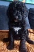 Poodle (Standard) Puppy For Sale in ARCADIA, IN, USA