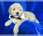 Small #10 Poodle (Miniature)
