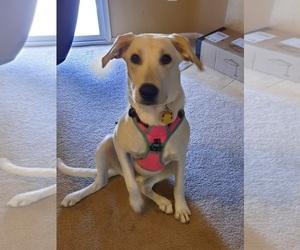Labrador Retriever Puppy for sale in INDIO, CA, USA