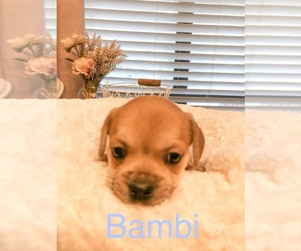 Medium Photo #3 Cavalier King Charles Spaniel-French Bulldog Mix Puppy For Sale in LAWRENCEVILLE, GA, USA