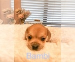 Small Photo #3 Cavalier King Charles Spaniel-French Bulldog Mix Puppy For Sale in LAWRENCEVILLE, GA, USA