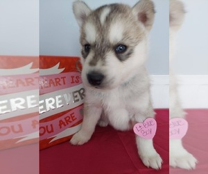 Siberian Husky Puppy for sale in GAFFNEY, SC, USA