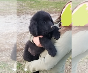 Newfoundland Puppy for sale in HOLDEN, MO, USA